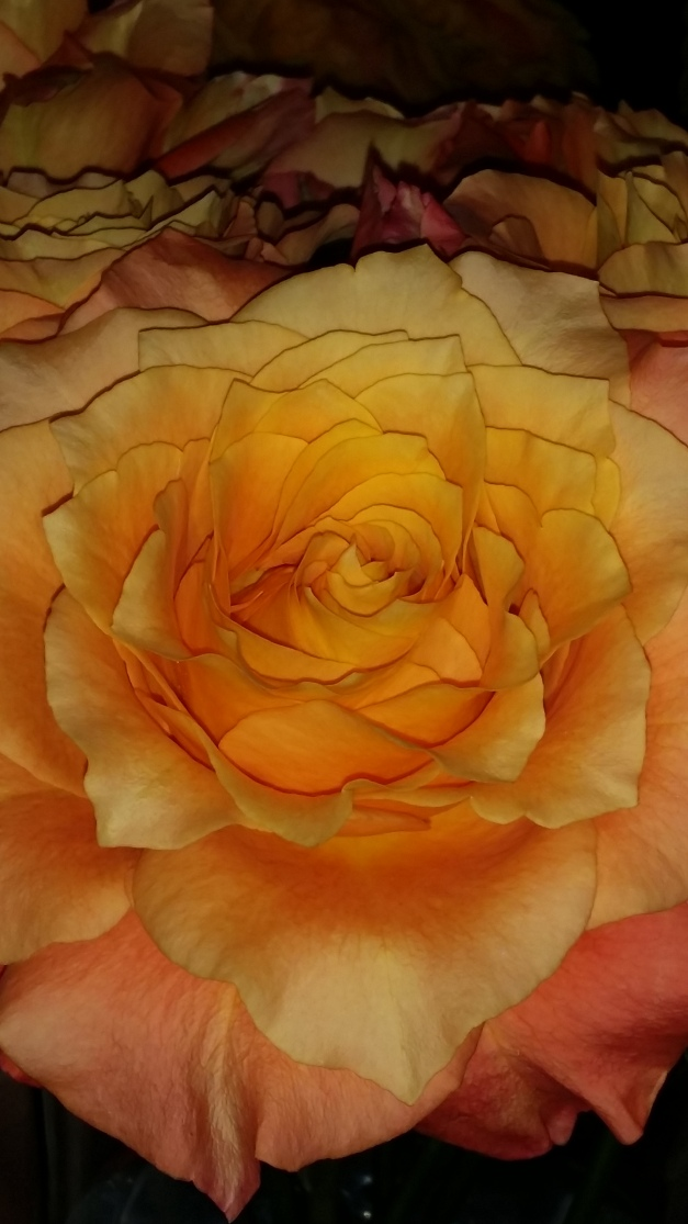 Flame Orange Rose