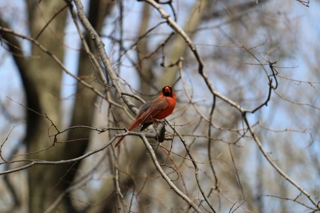 Redbird 2
