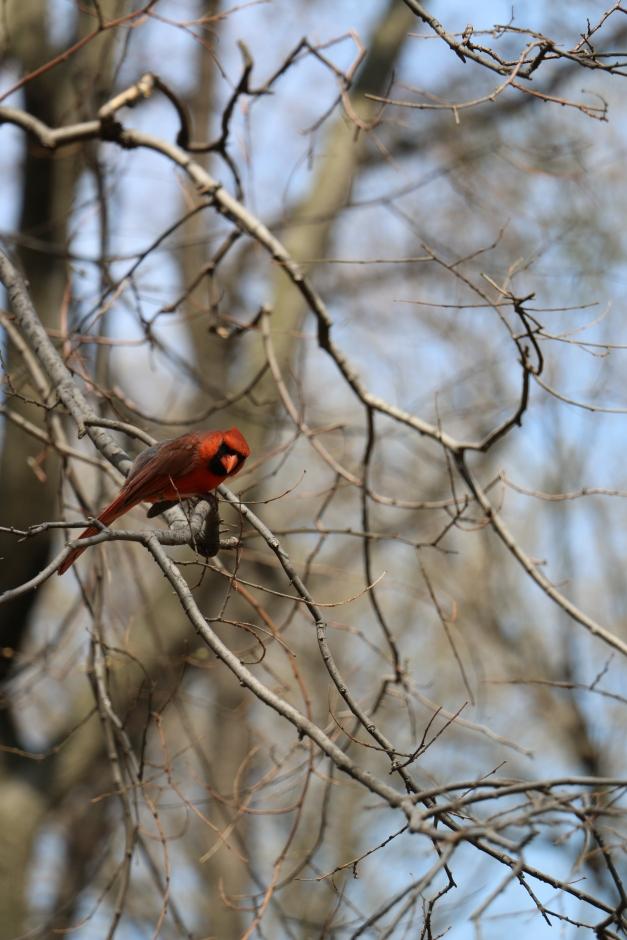 Redbird 3