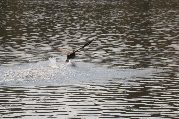 Duck 12