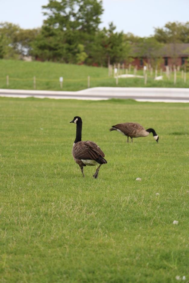 The Geese III
