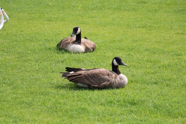 Geese Laying Down