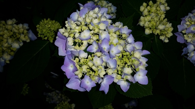 Mother's Blue Green Hydrangea