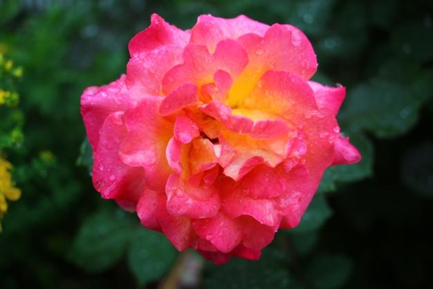 Mardi Gras Rose 1