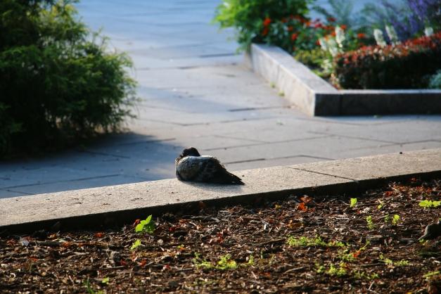 Pigeon Laying