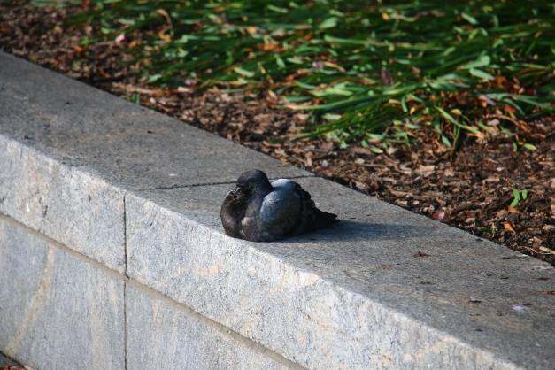 Pigeon Laying 2