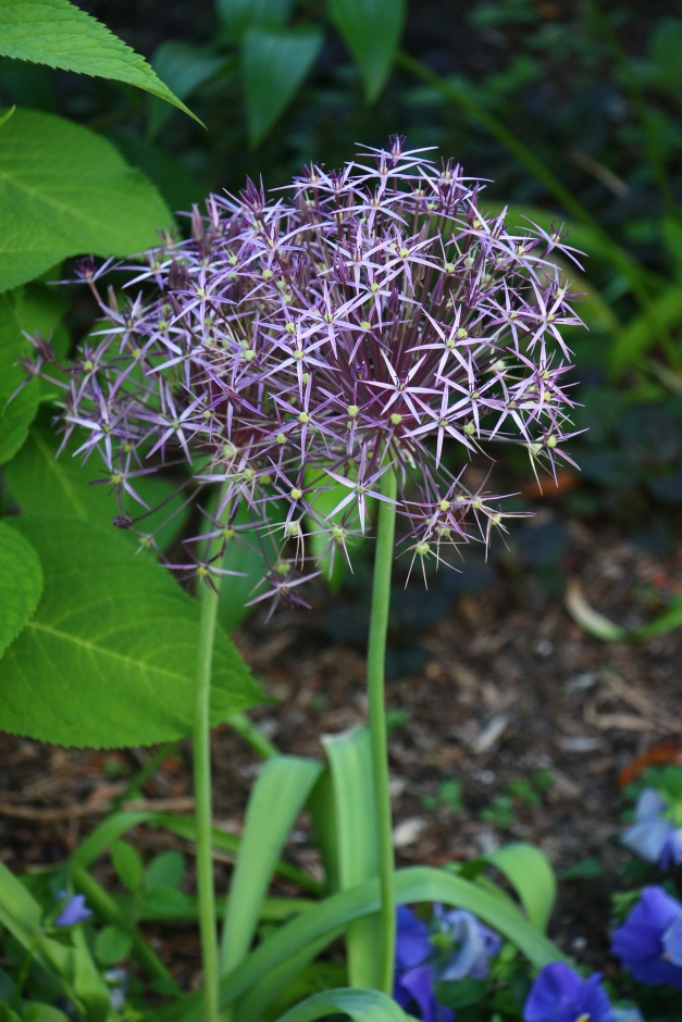 Purple Ball Bloom