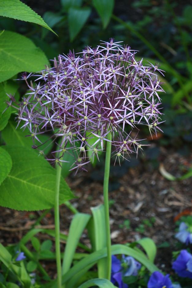 Purple Ball Bloom