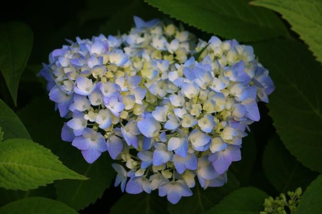 Blue Green Hydrangea