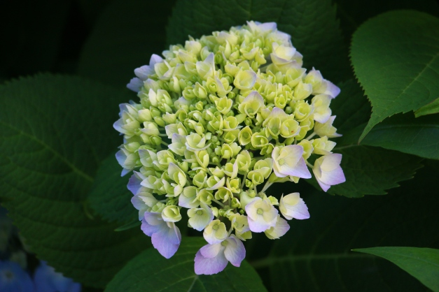 Young Blue Green Hydrangea