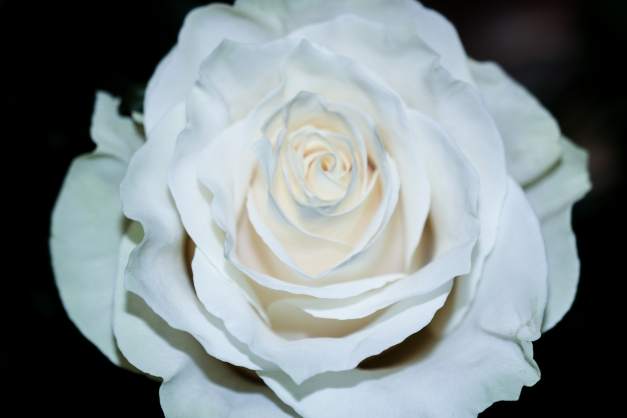 Grand White Rose III
