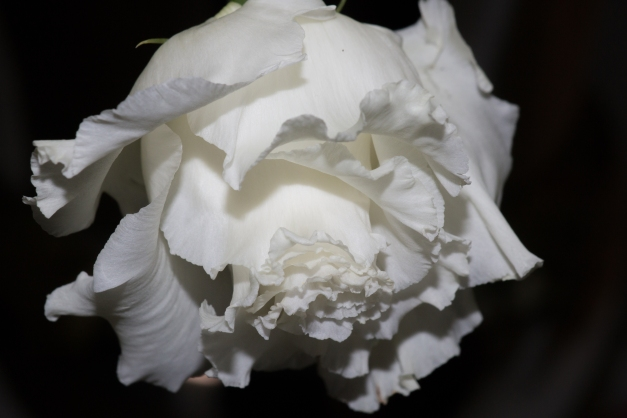 White Lisianthus Head